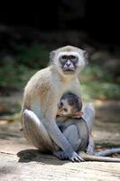 aap op een steen foto
