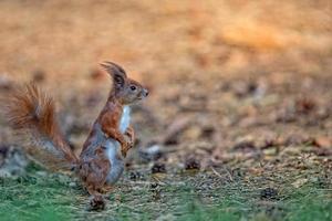 rode eekhoorn in het wild foto