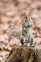 grijze eekhoorn in het park foto