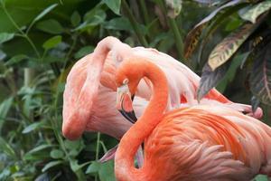 twee Caribische flamingo's foto