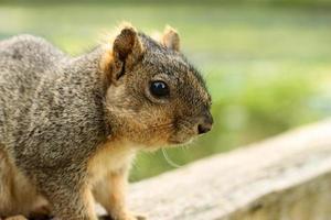 close up van grijze eekhoorn foto