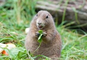 kleine prairiehond die met zwarte staart salade eet