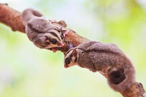 suikereekhoorn foto
