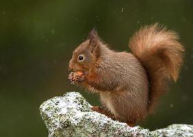 rode eekhoorn (sciurus vulgaris) foto