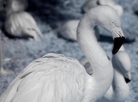 witte flamingo foto