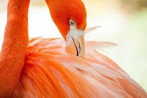 flamingo preening veren foto