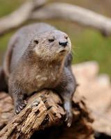 otter met gevlekte hals foto