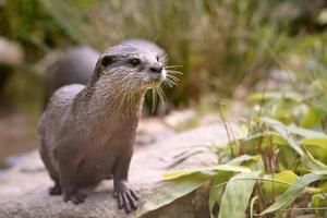 oosterse kleine-klauwde otter foto