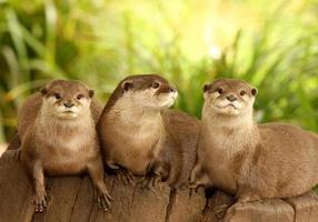 Europese otters foto