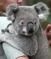 slaperige koala foto