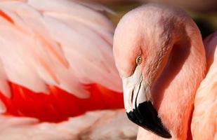 flamingo close-up foto