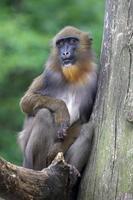 portret van een jonge mannelijke mandril foto