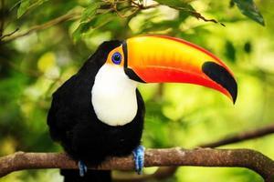 kleurrijke tucan in de volière foto