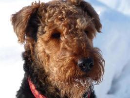 onze airedale terriër en het sneeuwportret foto