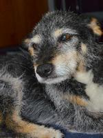 oude hond foto