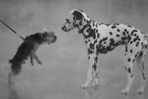 dalmatiër ontmoet yorkshire terrier foto