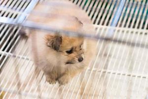 pomeranian hond die op eigenaar wacht om naar huis te komen