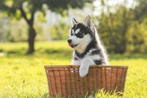 husky puppy in een mand