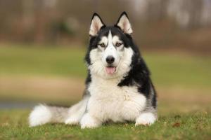 Siberische husky hond buiten in de natuur foto