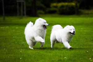 Samojeed hond foto