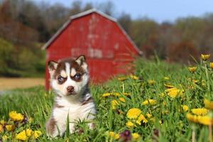 Siberische husky pup zitten in een prachtig landschap foto