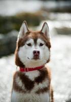 Siberische husky