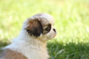 kleine puppy foto