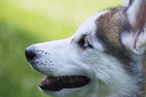 het hoofd van de Siberische husky. foto