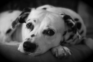 Dalmatische ontspanning foto