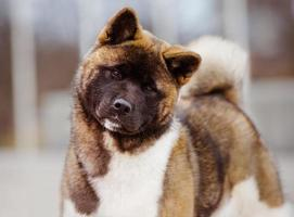 Amerikaanse akita hond buitenshuis foto