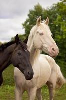 paarden zien eruit als yin en yang foto