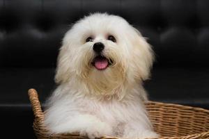 shih tzu puppy ras kleine hond foto