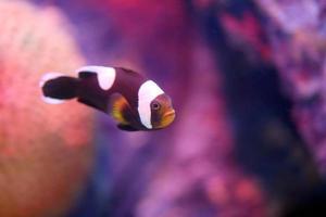 anemoonvis in zee koraalrif gebied. foto