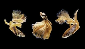 betta of siamese kempvissen geïsoleerd op zwart foto