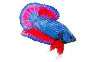 betta vis geïsoleerd op een witte achtergrond foto