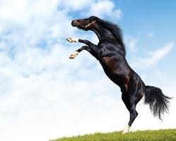 zwart paard foto