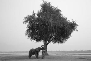 Afrikaanse olifantenstier (loxodonta africana) duwende boom foto