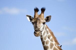 giraffe portret foto