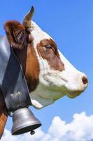 gehoornde koe foto