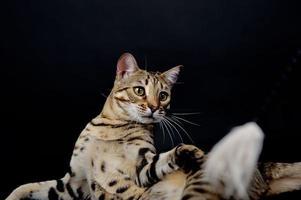 Bengalen kat voor een zwarte achtergrond foto