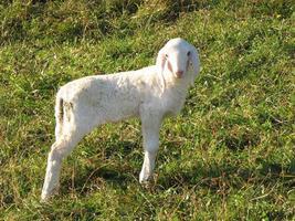 jonge witte lam in een kudde in de bergen foto