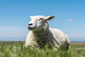 blij uitziende schapen foto