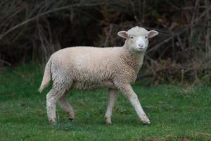 schapen in het veld foto