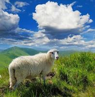 schapen in de bergen