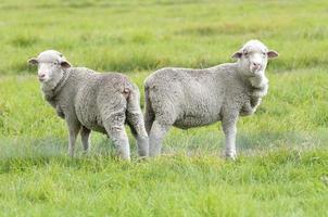 paar schapen en een lam in grasland, weide, veld