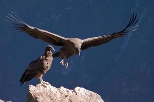 condor bij de colca canyon peru foto