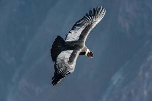 Andes condor vliegt in de colca canyon arequipa peru foto