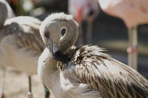 jonge flamingo foto