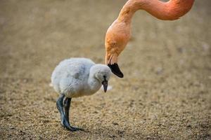 babyvogel van de Amerikaanse flamingo met zijn moeder. foto