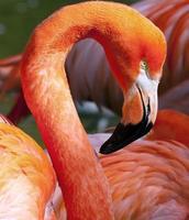 Amerikaanse flamingo - phoenicopterus ruber foto